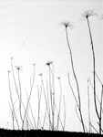 Queen Annes Lace by Charlie-Mcgillicutty