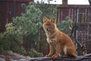 Watchful dhole by perost