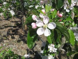 Apple Blossom by fixinman
