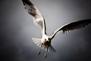 Gull II by sampok