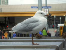 Fed Square gull by BrendanR85