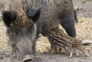 wild boar by Parides