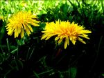 Dandelions Are Flowers by darkcontender