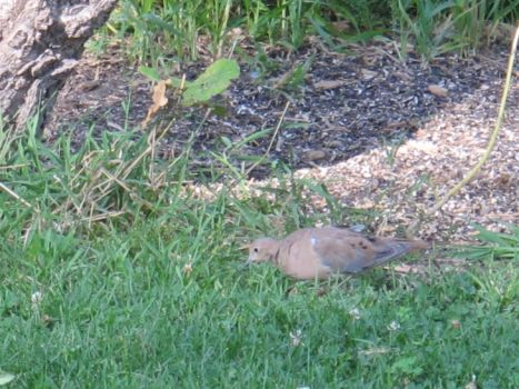 Mourning Dove by Windthin