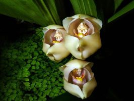 Amazing blossom resemble a swaddled babies by drnedradodds