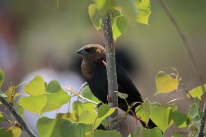 Male Brown Headed Cow Bird by PrimalOrB