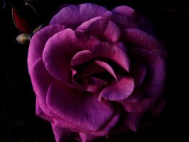 Dead Purple Flower by Jeannyinabottle