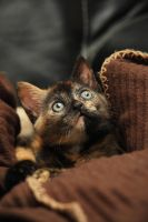 Brie the Kitten 1 by NickiStock