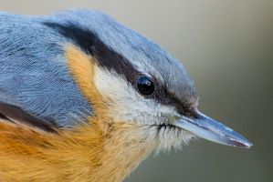 Eurasian Nuthatch close portrait by WojciechGrzyb