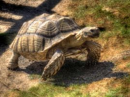 HDR turtle by Louis-photos