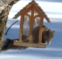 Squirrel at the feeder1 by musicsuperspaz