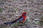 Crimson rosella by sootyalbatross