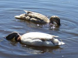 One Duck...Two Duck by Narzaria