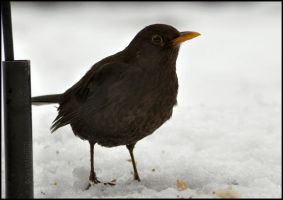 Female Blackbird in the Snow by Somebody-Somewhere