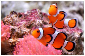 Clownfishes by hmdll
