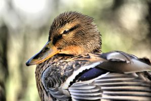 Duck by Bazz-photography