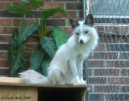 Misty the Marble Fox 2 by malane3