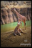 Couple of giraffes by TlCphotography730