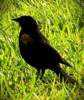 Red-winged Blackbird (male) by Enirroc