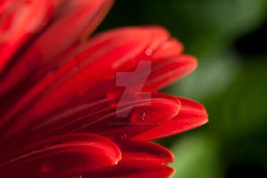 Gerber daisy take 2 by So-digital-me