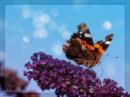 The Red Admiral by evionn