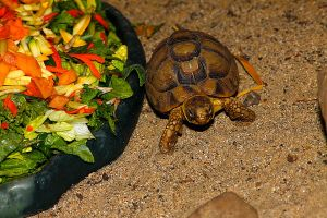 Egyptian Tortoise 3 by S-H-Photography
