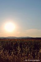 Sunflowers by 4DK