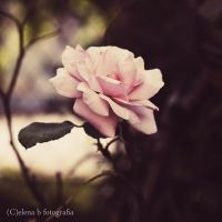 I feel like a rose loosing its petals by Pensieri