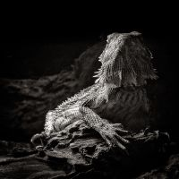 Bearded Dragon Posing by vamosver