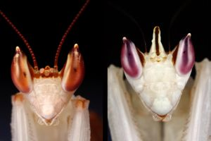 orchid mantis back to back by macrojunkie