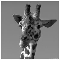 Giraffe Reworked by iseekreality