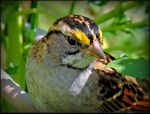 White-throated Sparrow - close-up by JocelyneR