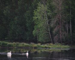 Swan Family #2 by perost