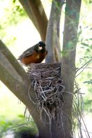 Robin And Nest by LDFranklin