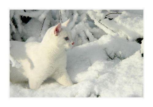 White Snow + White Cat I by ace-of-finland