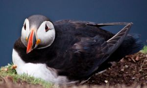 Another Puffin 68 by Sagereid