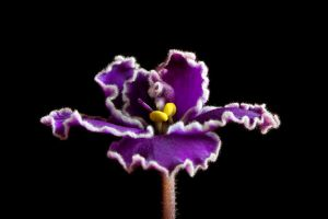 african violet 2 by JasonKaiser
