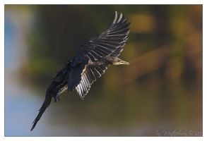 Reed Cormorant - Full Flaps by MrStickman