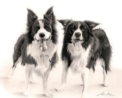 Commission - Border Collies by Captured-In-Pencil