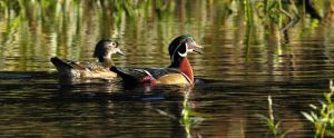Wood duck Pair at sunrise by natureguy
