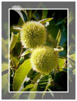 From a Chestnut tree by Tailgun2009