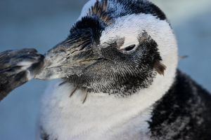 African Rock Penguin by King-Dolphin