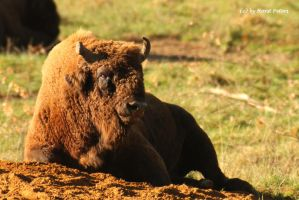 Wisent / European Bison 1 by bluesgrass