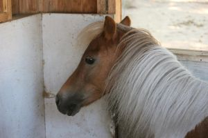 Pinto Miniature Horse by ThePerfectEquestrian