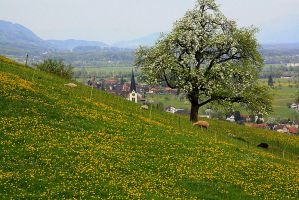 Sheep and Dandelions by Intergrativeone