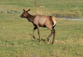 Elk 11 by Eltear-Stock