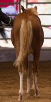 STOCK - 2014 Welsh QLD Show-87 by fillyrox