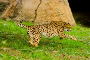 cheetah354 by redbeard31