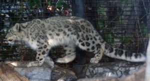 Denver Zoo 18 Snow Leopard by Falln-Stock