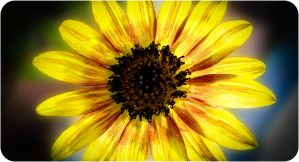 Sunflower II HDR by Celestial22